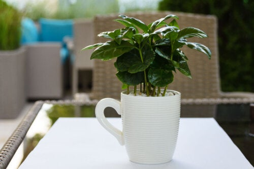 ¿Se puede cultivar café en casa?