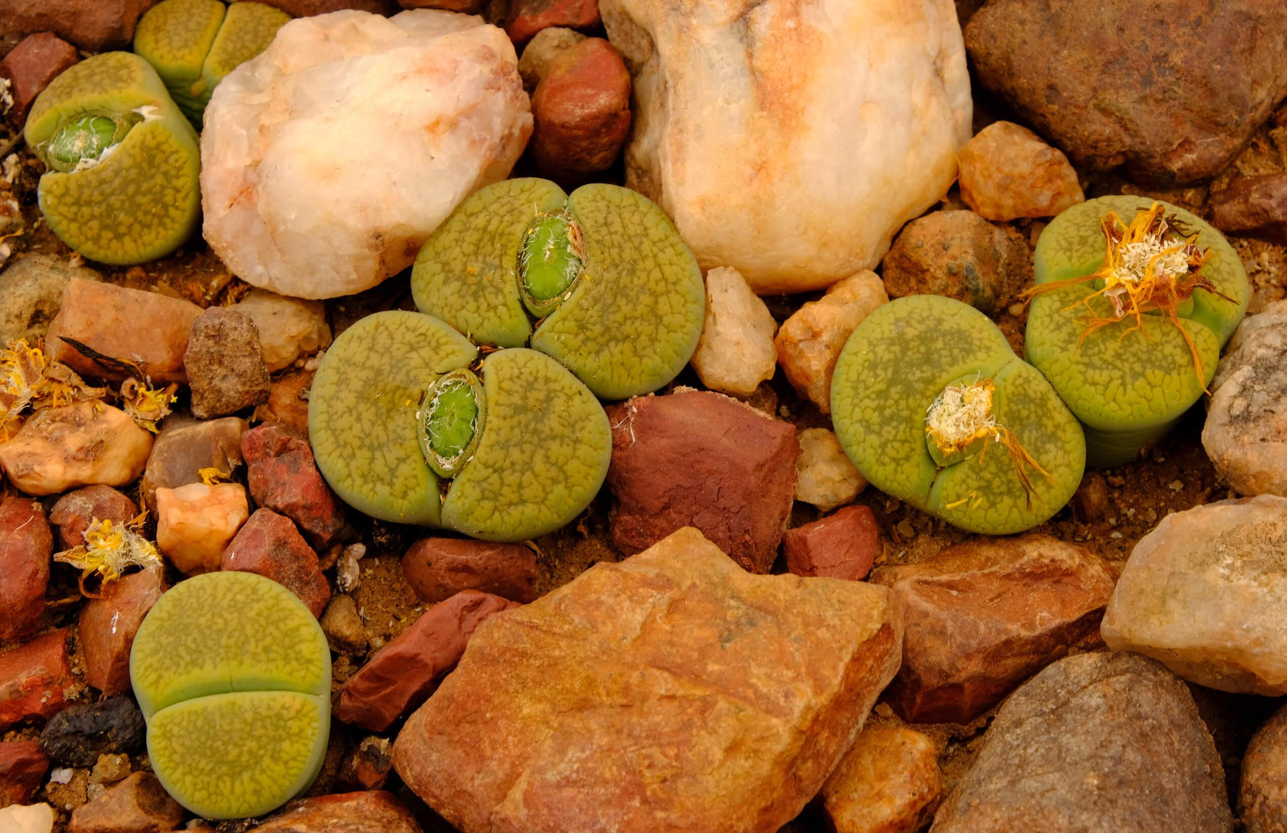 Piedras vivas o Lithops: características y cuidados