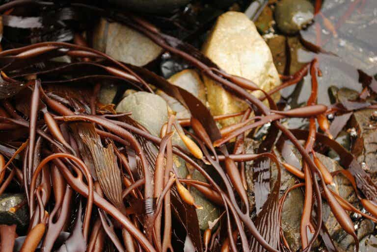 Alga cochayuyo: nutrientes, beneficios y cómo cocinarla