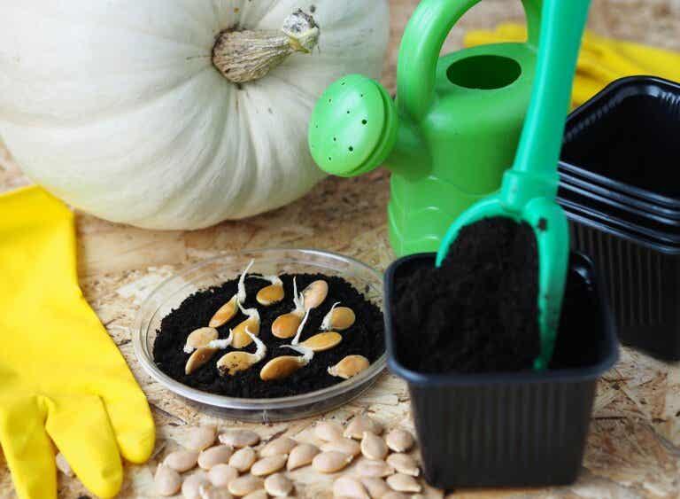 Consejos para cultivar y cuidar una calabaza en casa