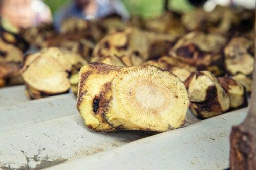 Kava kava: características, beneficios y riesgos