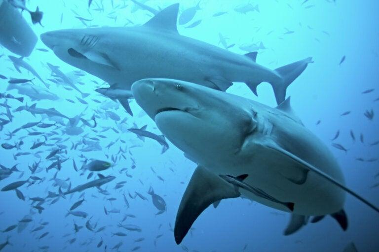 Cartílago de tiburón: usos y evidencia